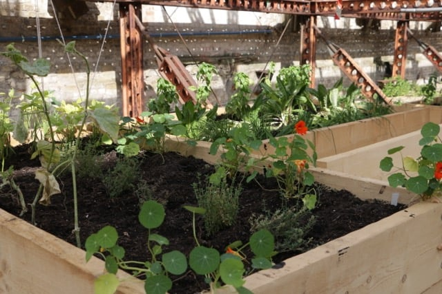 Nastutiums, great in salads, and easy to grow in the community allotment